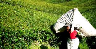 10 raisons de boire du thé vert pour la santé